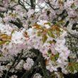 平野神社14